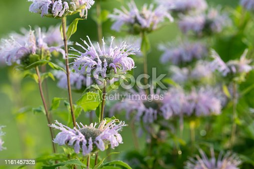 Blooming wild bergamot in Summer at Valley Forge National Historic Park, Pennsylvania, USA