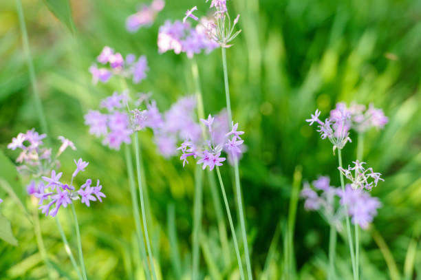 Blooming Wild Bluebell flowers stock photo