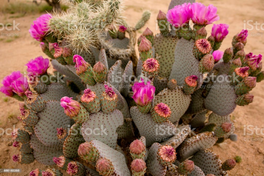Blooming wild cactus (Beavertail Prickly Pear) in the Anza Borrego State Park, USA. stock photo