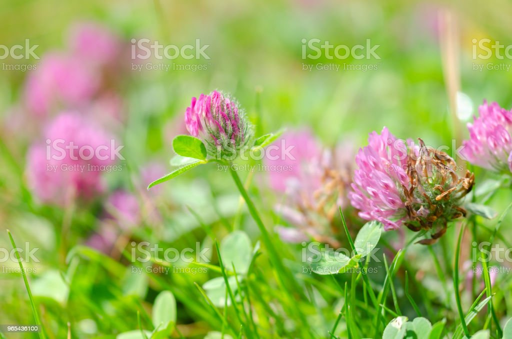 Blooming wild flowers on the meadow at spring time royalty-free stock photo