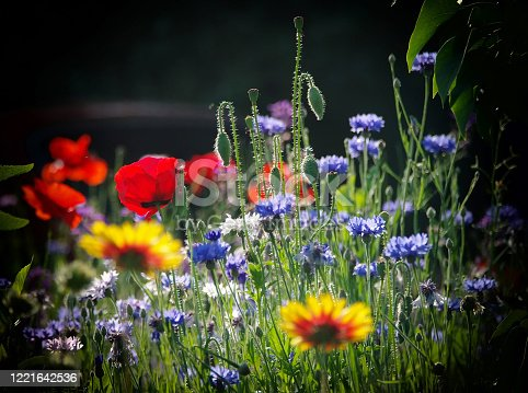 Blooming wild poppies, cornflower and chamomile on the meadow at summertime on dark background