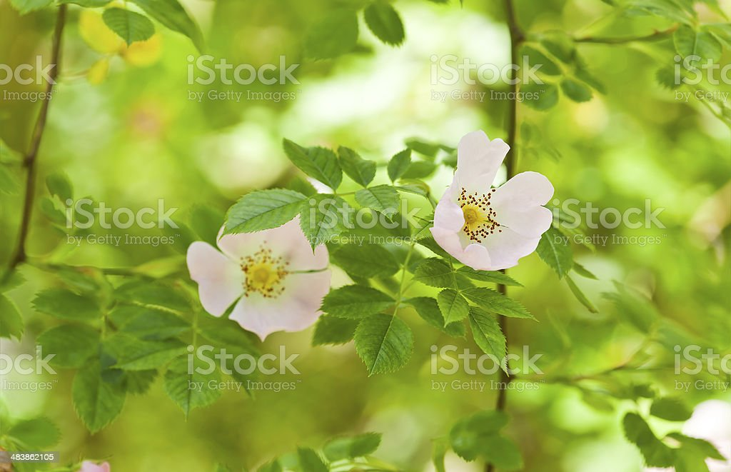 Blooming wild rose stock photo
