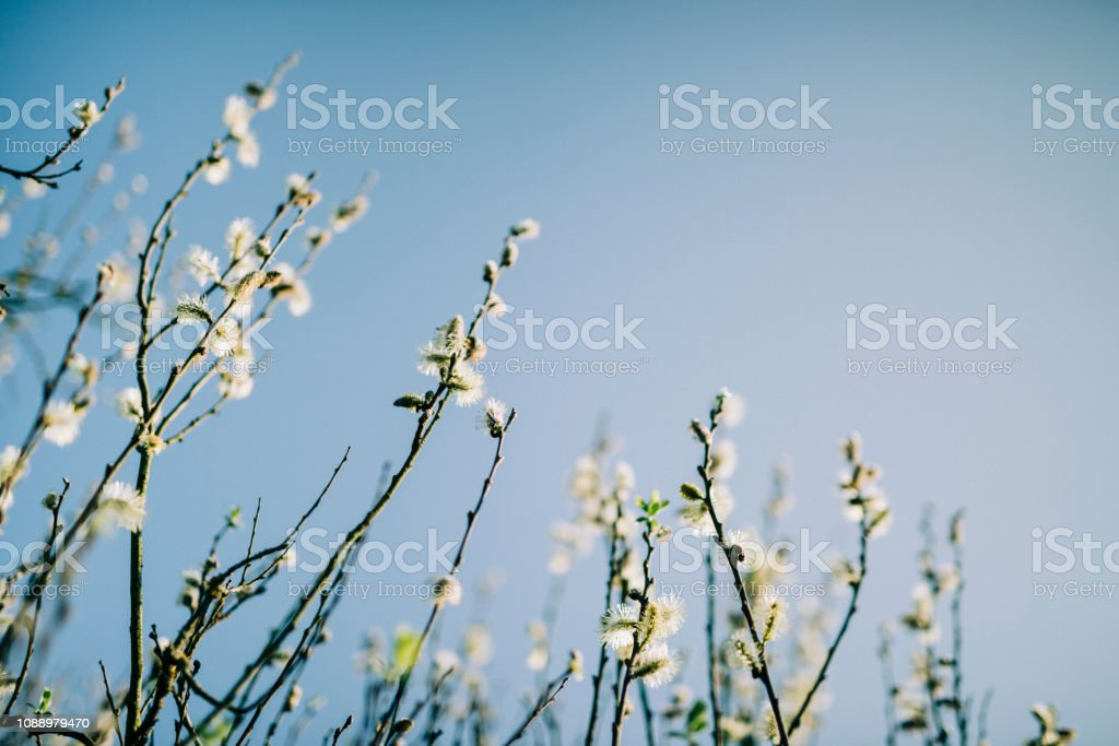 Blooming Willow Catkin in early spring sun stock photo