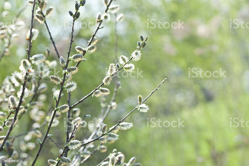 Blooming Willow stock photo