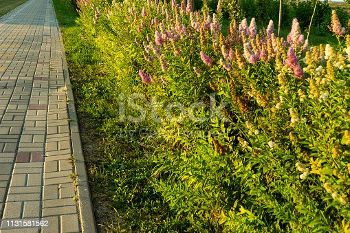 Blooming willow Spiraea Hedge along the footpath