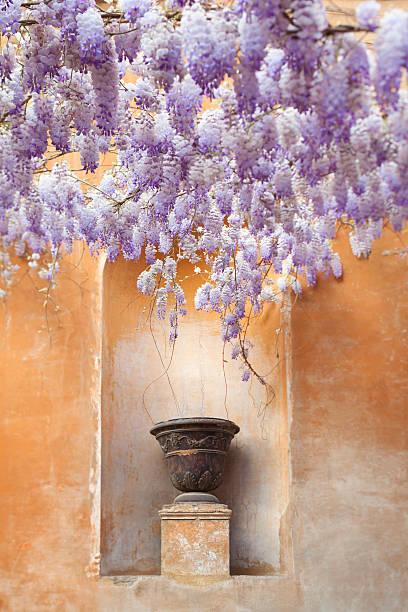 blühenden glyzinien und vase, italien - blauregen stock-fotos und bilder
