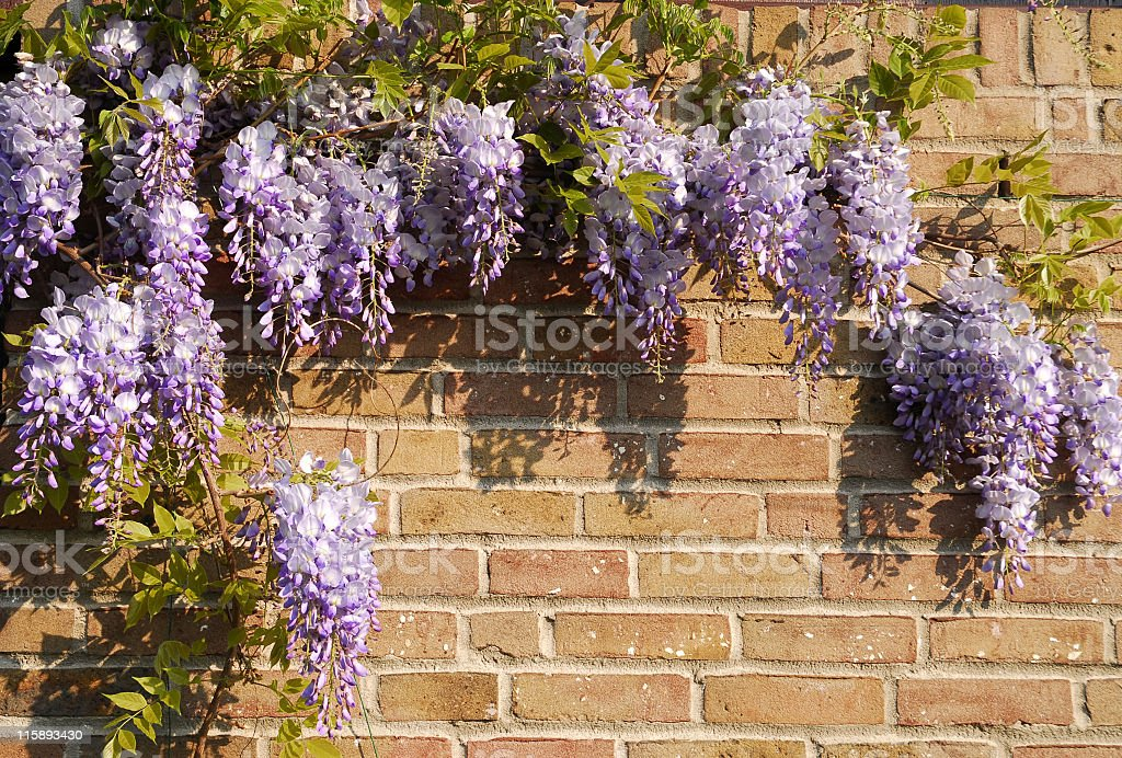 Blooming wisteria floribunda in springtime stock photo