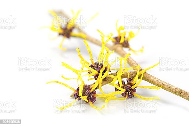 Blooming witch hazel medicinal plant hamamelis isolated on white picture id506995908?b=1&k=6&m=506995908&s=612x612&h=sbcaakr2kqdv1to6tnbc7aovnb3c2bfgm8ktywbord8=