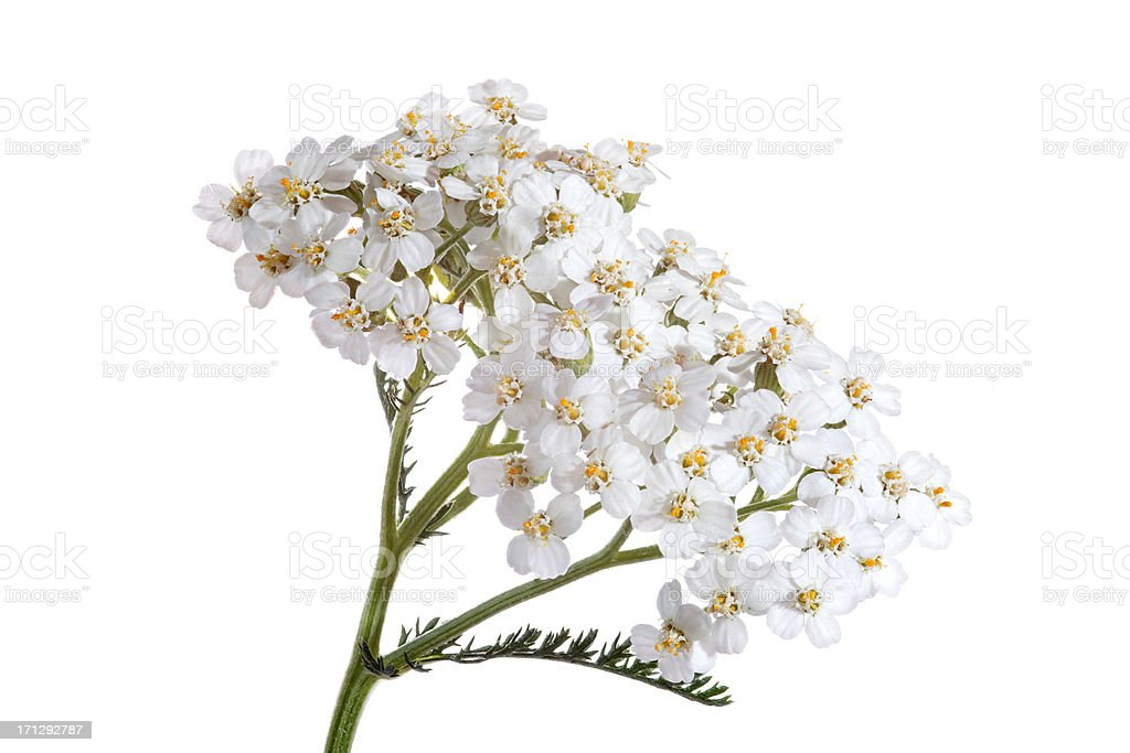 blooming yarrow (achillea) isolated on white stock photo
