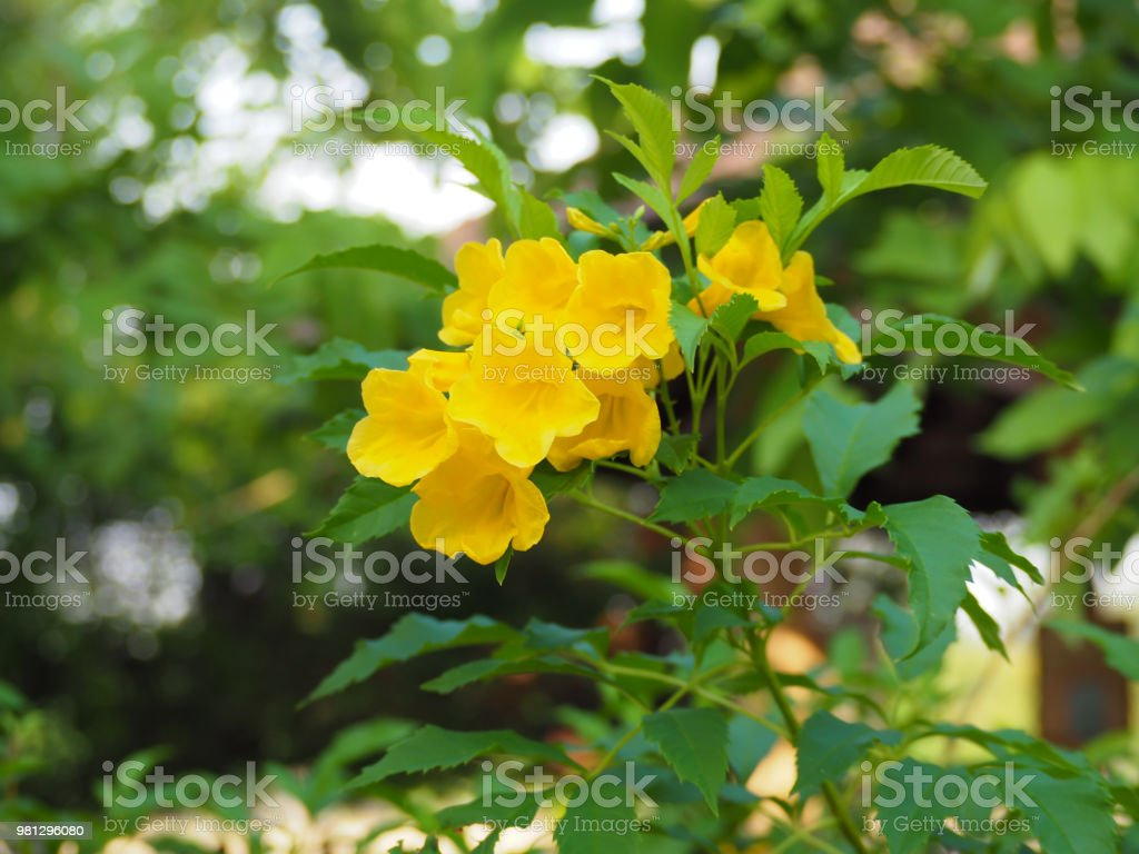 Blooming Yellow Bell Yellow Elder Trumpet Vine Stock Photo More