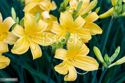 blooming yellow daylily flower bushes in garden