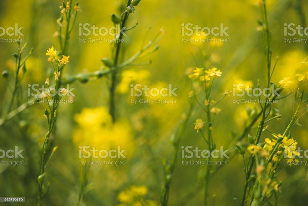 Gelbe Blumen auf sommerwiese blühen - Lizenzfrei Biologie Stock-Foto