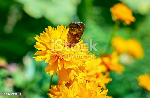 Blooming yellow flowers with a butterfly on sunny day in summer - close-up