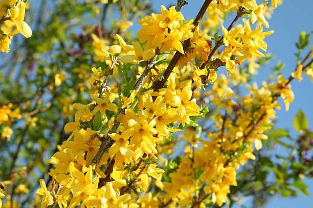Blühende gelbe Forsythien – Foto