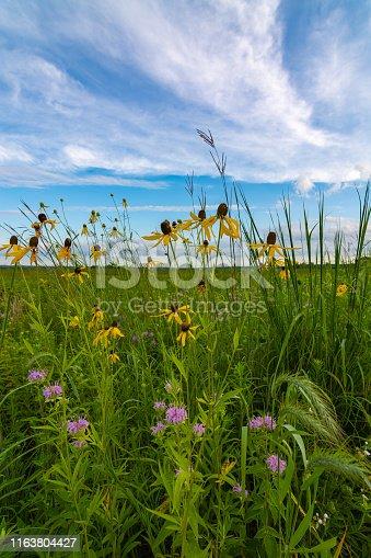 Blooming yellow Pinnate Prairie Coneflowers as the sun rises in Dixon Waterfowl Refuge.  Putnam County, Illinois, USA