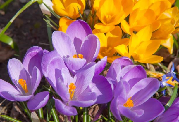 fleur jaune violet et blanc crocuses - paysage mois de mars photos et images de collection
