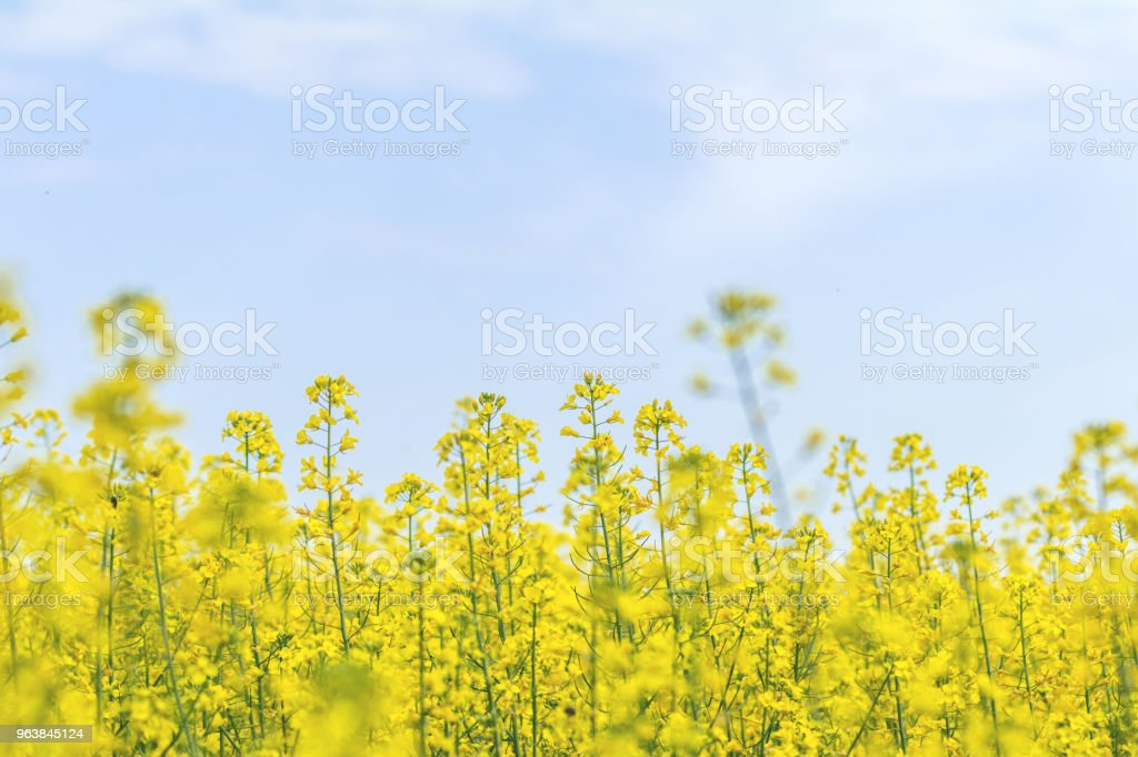 Blooming yellow rapeseed field with blue cloudless sky. Beautiful nature background. - Royalty-free Agricultural Field Stock Photo
