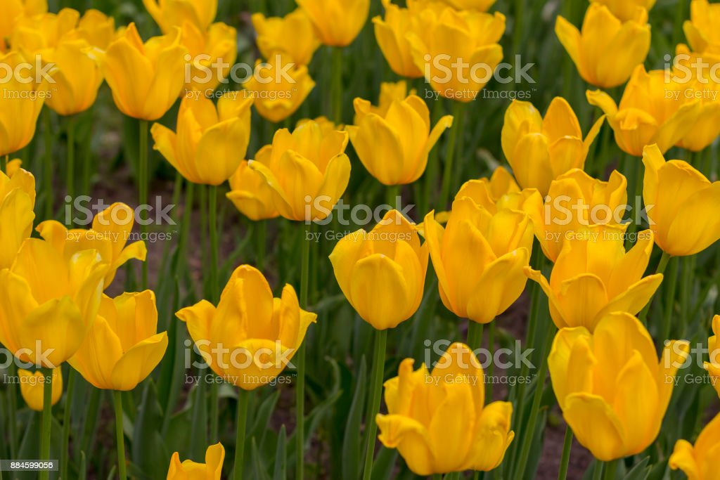 blooming yellow tulips stock photo