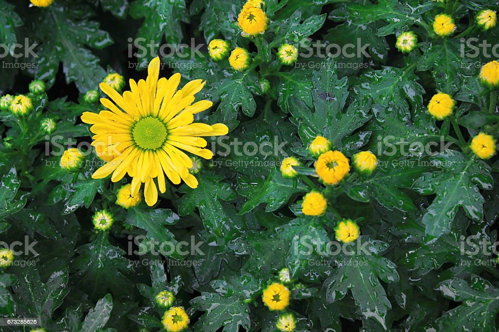 Blooming yellow viking pom flowers in the garden stock photo more blooming yellow viking pom flowers in the garden royalty free stock photo mightylinksfo