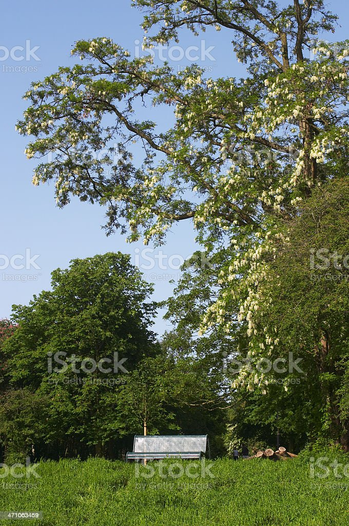 Robinia or false acacia with bench in UK park stock photo