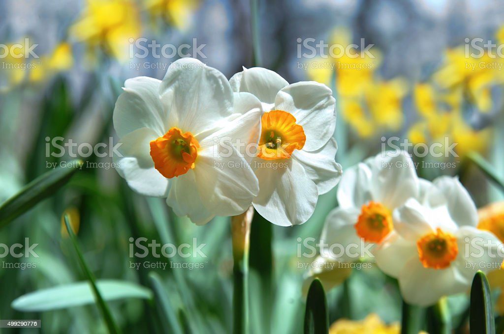 Blooms Show Evidence of Springtime stock photo