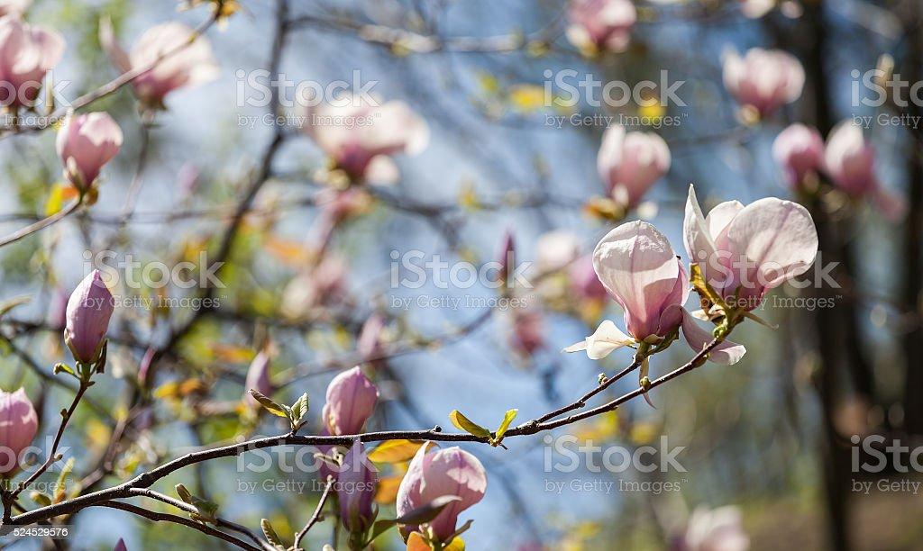 Bloomy magnolia tree with big pink flowers stock photo more bloomy magnolia tree with big pink flowers royalty free stock photo mightylinksfo