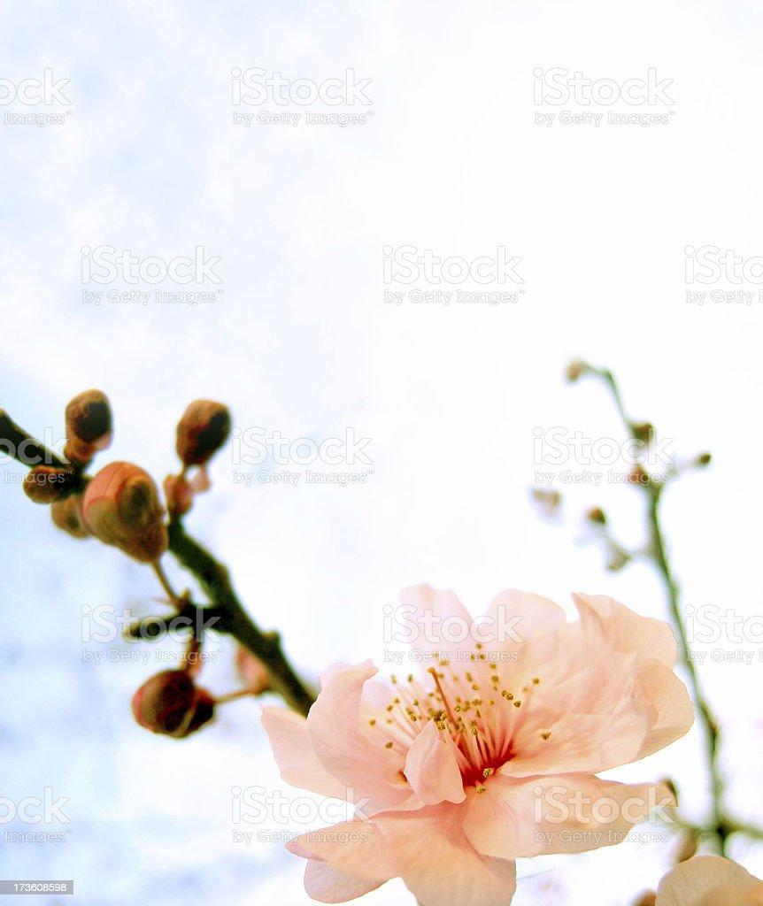 Blossom 3 royalty-free stock photo