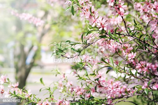 istock Blossom almond bush over nature blurred background. Pink spring flowers. 683624910