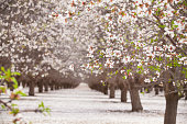 USA, California, Bakersfield, Blossom Almond Trees and Flowers