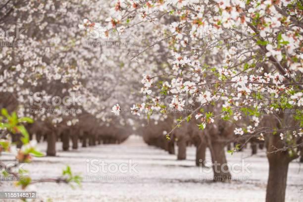 Blossom almond trees and flower picture id1155148812?b=1&k=6&m=1155148812&s=612x612&h=mc  4 k3qvurmt8alzfay48xem253fci0xy hxs7ny4=