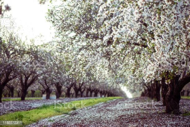 Blossom almond trees field picture id1132272311?b=1&k=6&m=1132272311&s=612x612&h=xegjdrl9tn6otwkv w4g5czqupwsh7imt7odrfn h9o=
