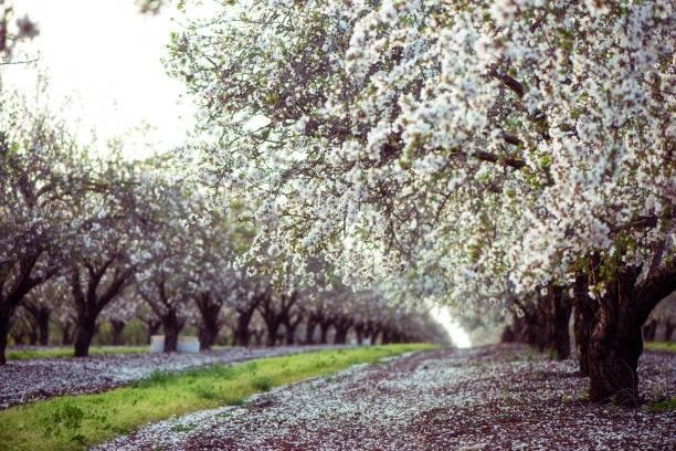 blossom almond trees field. - frutteto foto e immagini stock