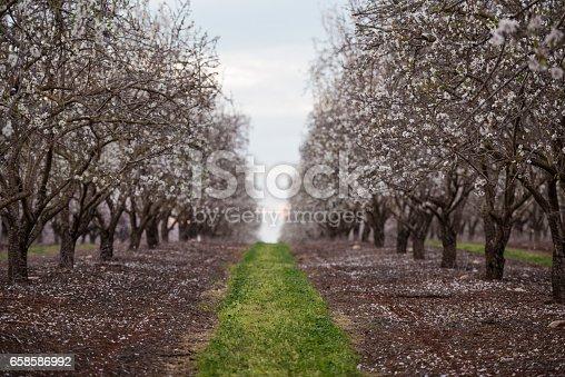 istock Blossom almond trees field. 658586992