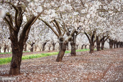 Almond field during almond tree blossom at spring.