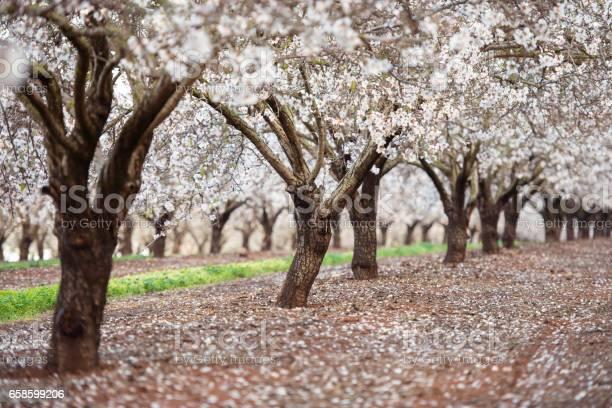 Blossom almond trees field picture id658599206?b=1&k=6&m=658599206&s=612x612&h=x3gkw7ge5avjtw1e9lamwgqfzankkhxdeo7obhm2j5o=
