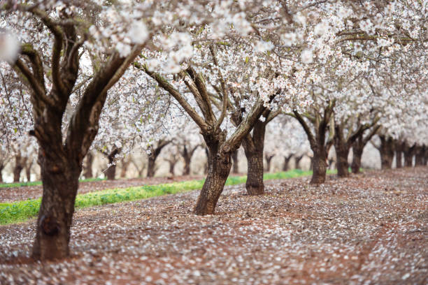 blossom almond trees field. - blossom stock pictures, royalty-free photos & images