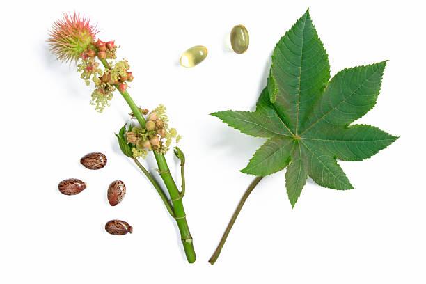 Blüten und Blätter des castor plant – Foto