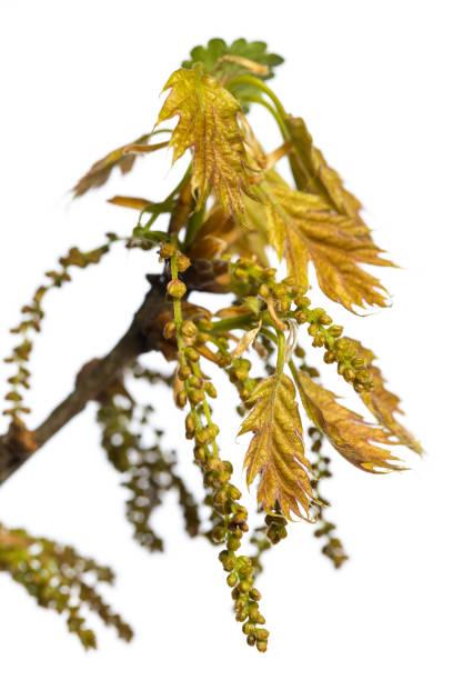 Blüte und junge Blätter aus roter Eiche (quercus rubra) isoliert auf weißem Hintergrund – Foto