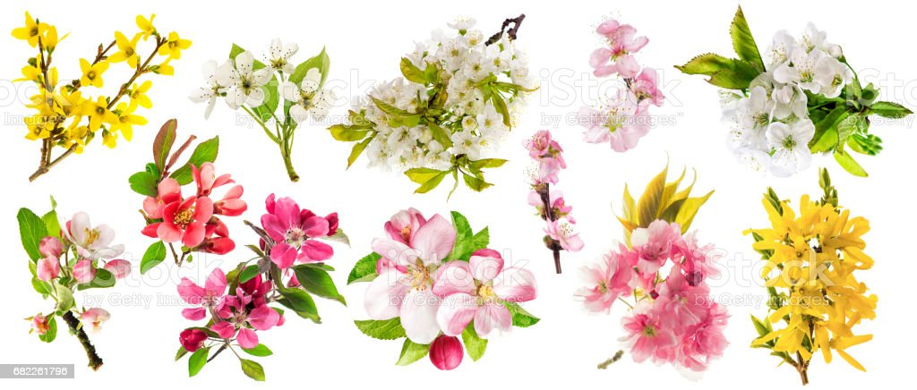 Blossom apple tree cherry twig pear almond forsythia Set spring flowers stock photo