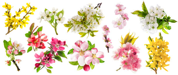 Blossom apple tree cherry twig pear almond forsythia Set spring flowers stock photo