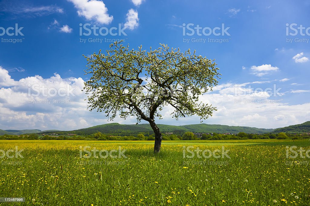 Blossom Apple Tree in Beautiful Spring Landscape Under Blue Sky royalty-free stock photo
