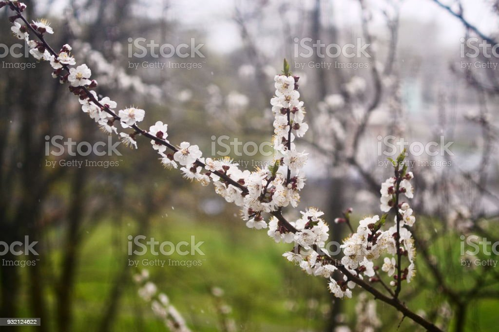 Blossom apricot tree on blurred background stock photo