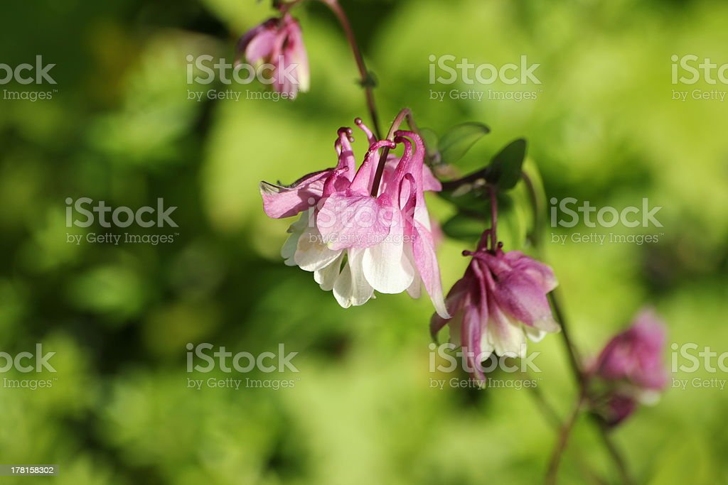 Blossom Aquilegia, Columbine , red royalty-free stock photo