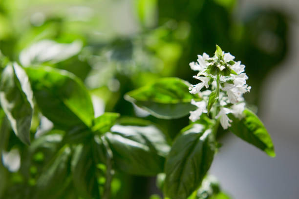 Blossom basil, basil leaves with flowers Blossom basil, basil leaves with flowers. Green background with growth basil basil plant stock pictures, royalty-free photos & images