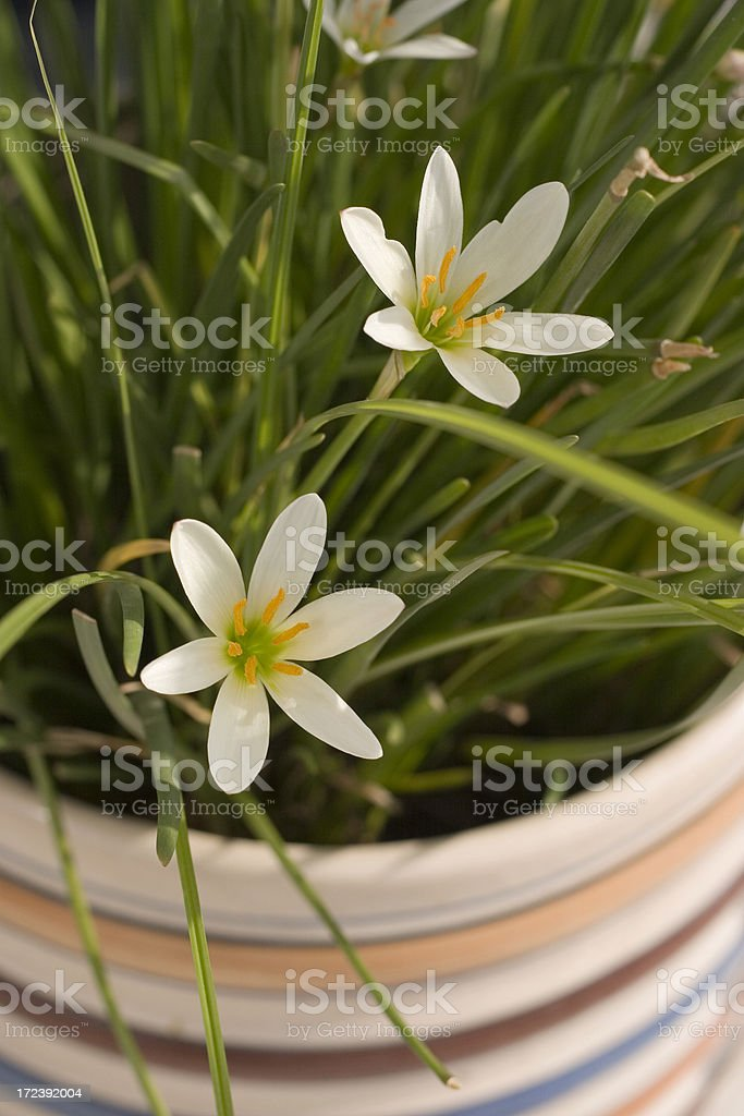 Blossom Blooming Flowers in Spring Vertical Pot royalty-free stock photo