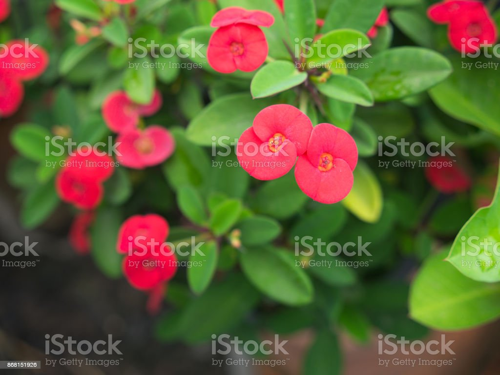 Blossom Blooming Red on Euphorbia milii stock photo