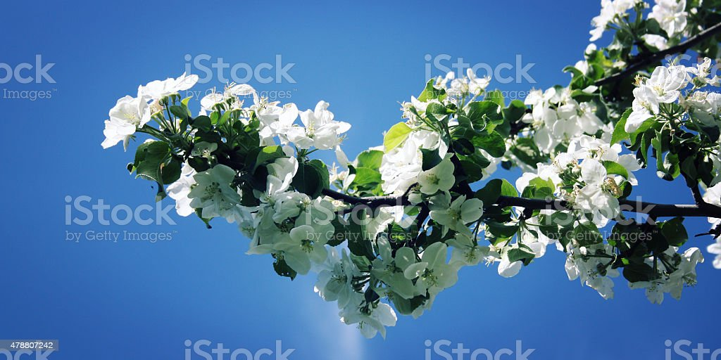 Blossom branch of apple tree on a blue background. stock photo