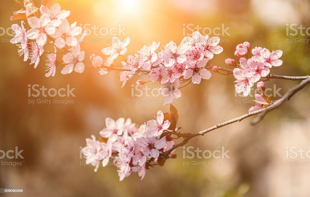 Blossom branch of Japanese cherry flowers stock photo