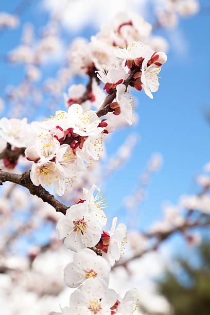 Blossom rama de - foto de stock