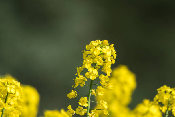 Blossom canola flower by a green background stock photo